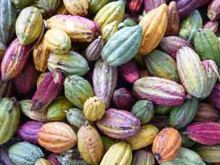 Cabosse cacao Madagascar