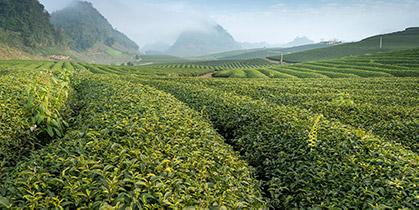 Culture du Thé Blanc : le fameux Pai Mu Tan