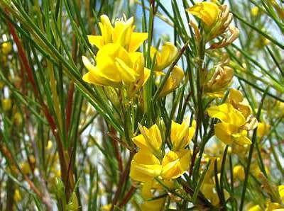 Rooibos en fleurs