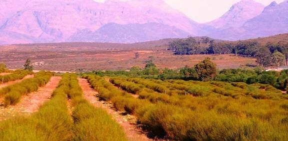 Rooïbos plantation Afrique du sud Thé Rouge