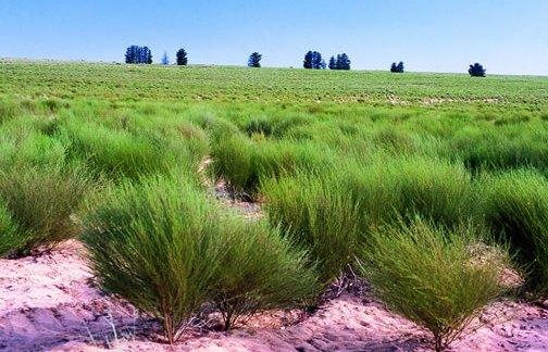 Paysage avec plantation de Rooibos, le fameux thé rouge